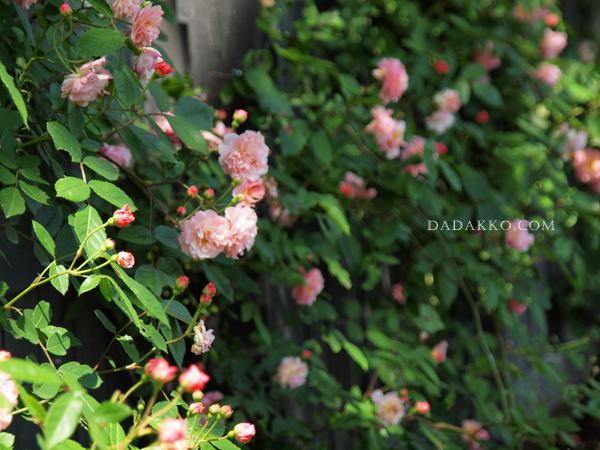 えこりん村でバラ祭り