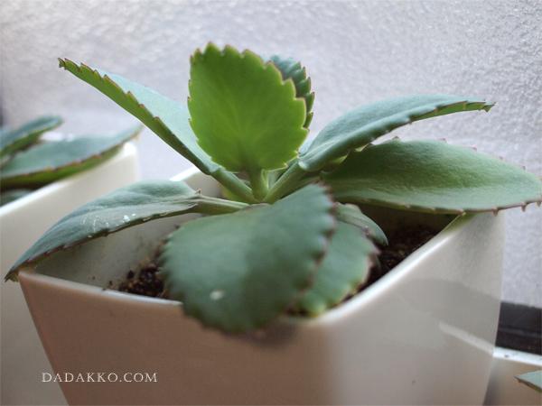 子宝草の成長